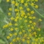 Jean-Claude Echardour - Anethum graveolens L.