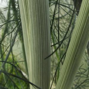 Photographie n°238304 du taxon Anethum graveolens L.