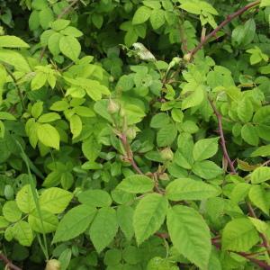 Photographie n°238327 du taxon Rosa arvensis Huds.
