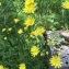 Giloub4 - Jacobaea erucifolia (L.) P.Gaertn., B.Mey. & Scherb.