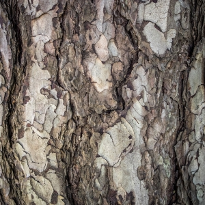 Photographie n°238533 du taxon Pinus nigra subsp. salzmannii (Dunal) Franco