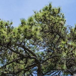 Photographie n°238535 du taxon Pinus nigra subsp. salzmannii (Dunal) Franco
