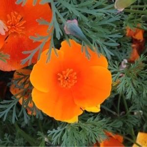 Eschscholzia californica Cham. (Pavot de Californie)