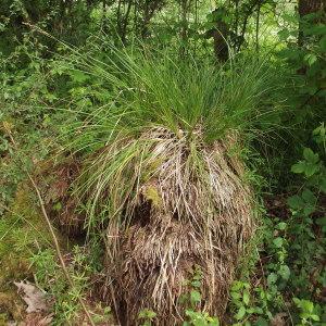 Photographie n°238608 du taxon Carex paniculata L.