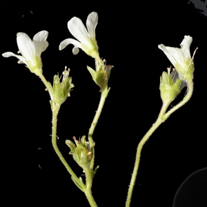 Photographie n°238642 du taxon Saxifraga granulata L.