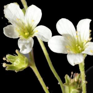 Photographie n°238643 du taxon Saxifraga granulata L.