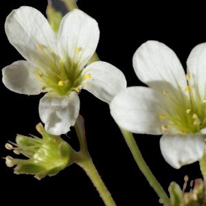 Photographie n°238644 du taxon Saxifraga granulata L.