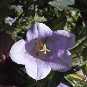 Photographie n°238704 du taxon Campanula medium L. [1753]
