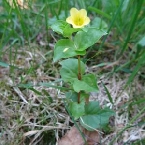Photographie n°238912 du taxon Lysimachia nemorum L.
