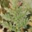 Errol Vela - Erodium foetidum (L.) L'Hér. [1802]