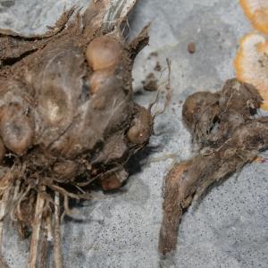Photographie n°239013 du taxon Allium polyanthum Schult. & Schult.f.