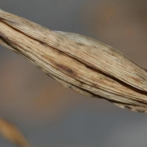 Photographie n°239017 du taxon Allium polyanthum Schult. & Schult.f.