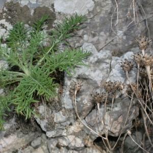 Photographie n°239059 du taxon Centaurea corymbosa Pourr. [1788]