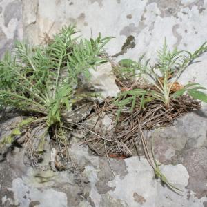 Photographie n°239067 du taxon Centaurea corymbosa Pourr. [1788]
