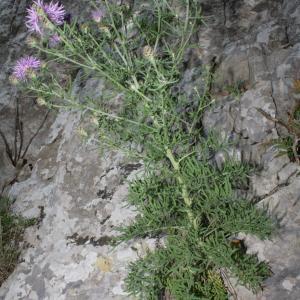 Photographie n°239068 du taxon Centaurea corymbosa Pourr. [1788]
