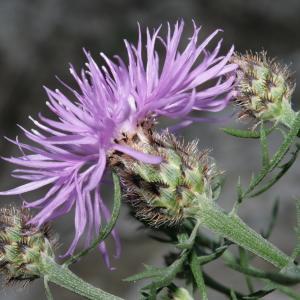Photographie n°239069 du taxon Centaurea corymbosa Pourr. [1788]
