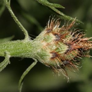 Photographie n°239071 du taxon Centaurea corymbosa Pourr. [1788]