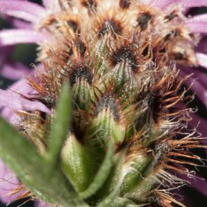 Photographie n°239073 du taxon Centaurea corymbosa Pourr. [1788]