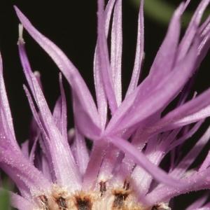 Photographie n°239074 du taxon Centaurea corymbosa Pourr. [1788]