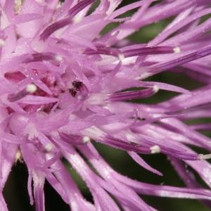 Photographie n°239075 du taxon Centaurea corymbosa Pourr. [1788]