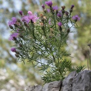 Photographie n°239077 du taxon Centaurea corymbosa Pourr. [1788]