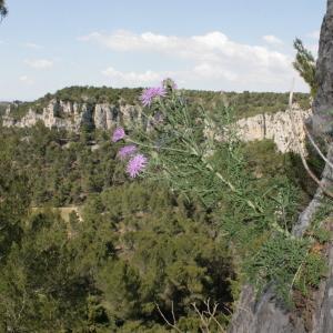 Photographie n°239082 du taxon Centaurea corymbosa Pourr. [1788]