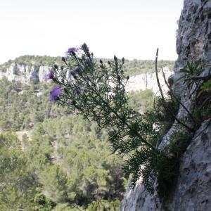 Photographie n°239083 du taxon Centaurea corymbosa Pourr. [1788]