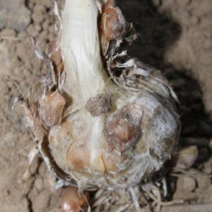 Photographie n°239281 du taxon Allium polyanthum Schult. & Schult.f.