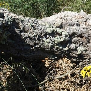 Photographie n°239451 du taxon Quercus suber L. [1753]