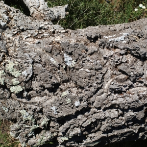 Photographie n°239452 du taxon Quercus suber L. [1753]