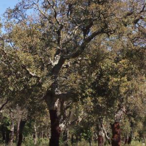 Photographie n°239454 du taxon Quercus suber L. [1753]