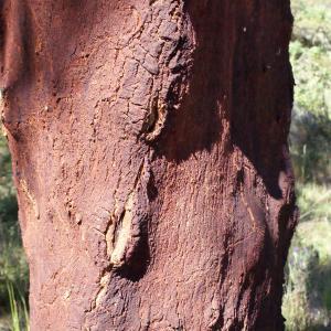 Photographie n°239455 du taxon Quercus suber L. [1753]