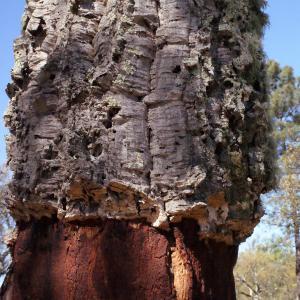 Photographie n°239456 du taxon Quercus suber L. [1753]