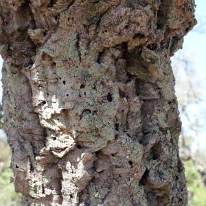 Photographie n°239457 du taxon Quercus suber L. [1753]