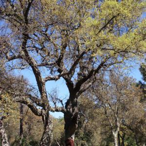 Photographie n°239458 du taxon Quercus suber L. [1753]