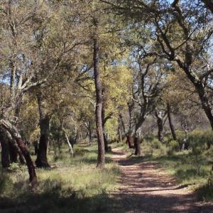 Photographie n°239459 du taxon Quercus suber L. [1753]