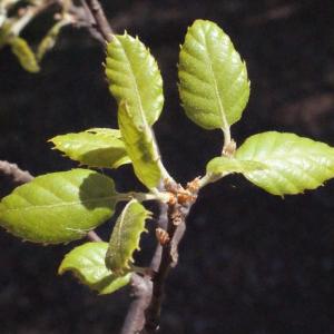 Photographie n°239460 du taxon Quercus suber L. [1753]