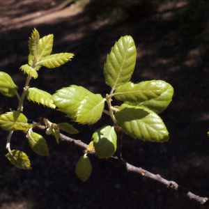 Photographie n°239461 du taxon Quercus suber L. [1753]