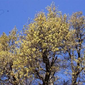 Photographie n°239462 du taxon Quercus suber L. [1753]