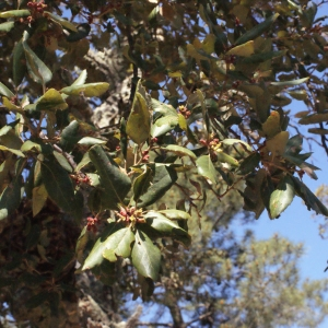 Photographie n°239463 du taxon Quercus suber L. [1753]