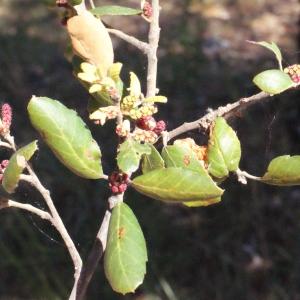 Photographie n°239464 du taxon Quercus suber L. [1753]