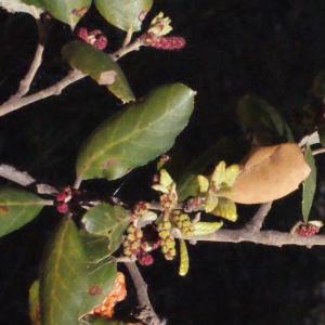 Photographie n°239465 du taxon Quercus suber L. [1753]