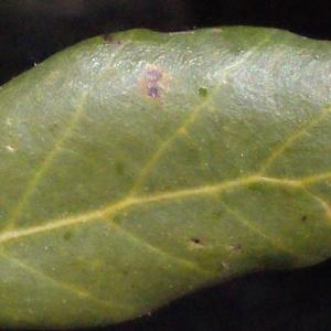 Photographie n°239466 du taxon Quercus suber L. [1753]