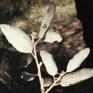 Photographie n°239467 du taxon Quercus suber L. [1753]