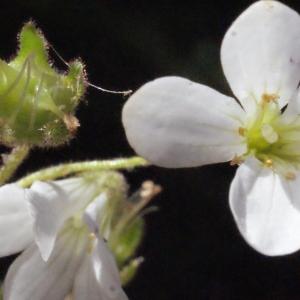 Photographie n°239484 du taxon Saxifraga granulata L.