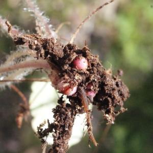 Photographie n°239487 du taxon Saxifraga granulata L.