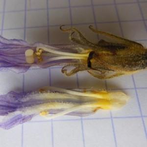 Photographie n°239579 du taxon Orobanche purpurea Jacq. [1762]