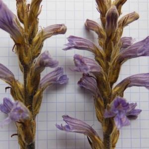Photographie n°239580 du taxon Orobanche purpurea Jacq. [1762]