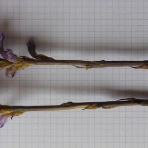 Photographie n°239581 du taxon Orobanche purpurea Jacq. [1762]