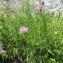 Esra GAUTHIER - Centaurea jacea L. [1753]